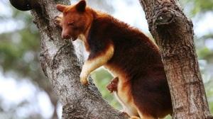 Tree kangaroo!